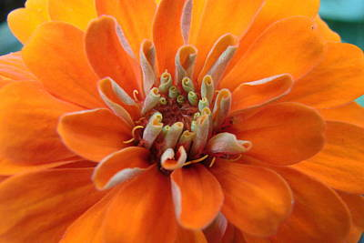 Orange Zinna Art Print