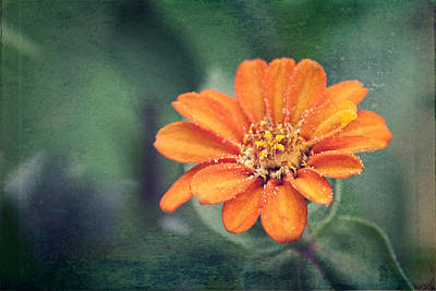 Orange Zinnia Art Print