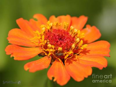 Photograph - Orange Zinnia From The Candy Mix by J McCombie