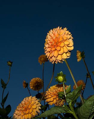 Photograph - Orange Zinnias by Mark Wiley