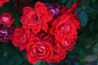 Photograph - Red Roses by Allen Beatty
