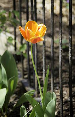 Orangey Tulip Art Print by Teresa Mucha