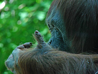 Photograph - Orangutan 1 by Diana Douglass