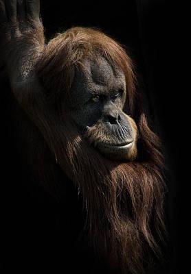 Photograph - Orangutan by Andrew Munro