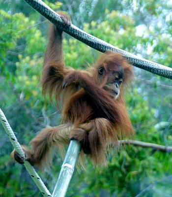 Photograph - Orangutan Baby Sd Zoo 2015 by Phyllis Spoor