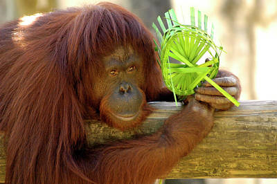 Photograph - Orangutan by Carolyn Marshall