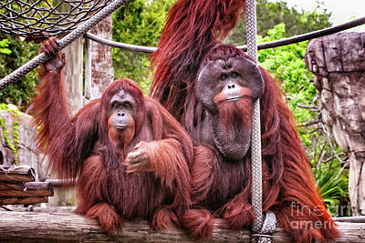Photograph - Orangutan Couple by Stephanie Hayes