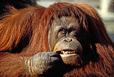 Orangutan Wall Art - Photograph - Orangutan  by Garry Gay