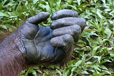 Photograph - Orangutan Hand by Michele Burgess
