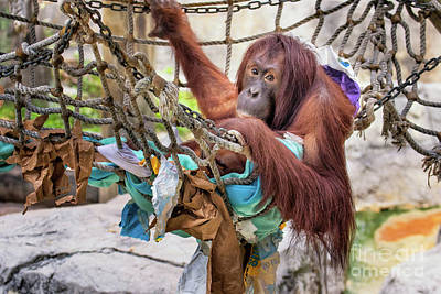 Photograph - Orangutan In Rope Net by Stephanie Hayes
