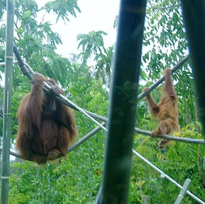 Photograph - Orangutan Mother Baby Sd Zoo 2015 1 by Phyllis Spoor