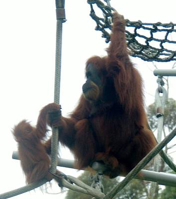 Photograph - Orangutan Mother Baby Sd Zoo 2015 2 by Phyllis Spoor