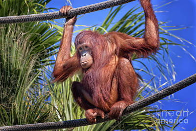 Photograph - Orangutan On Ropes by Stephanie Hayes