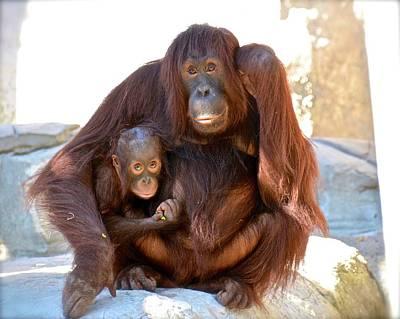 Photograph - Orangutan Portrait by Carol Bradley