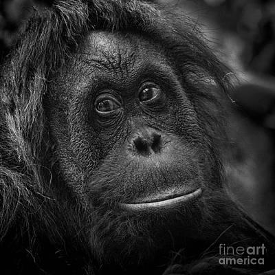Photograph - Malati -orangutan Portrait by Sonya Lang