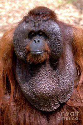 Photograph - Orangutan Portrait by Baggieoldboy