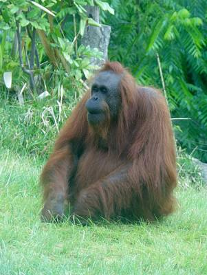 Photograph - Orangutan Sd Zoo 2015 2 by Phyllis Spoor