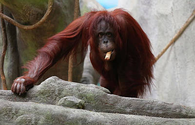 Photograph - Orangutan Smoking A Cuban Cigar  by Jerome Lynch