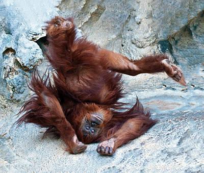 Photograph - Orangutan Standing On Her Head by William Bitman