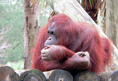Orangutang Contemplating Art Print by Rosalie Scanlon