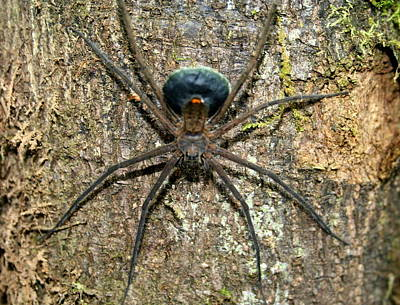 Photograph - Orb Weaver Spider by Laurel Talabere