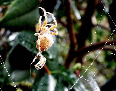 Photograph - Orb Weaver W Lunch by Kimberly-Ann Talbert