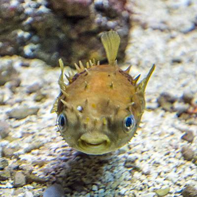 Photograph - Orbicular Burrfish by William Bitman