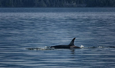 Photograph - Orca Female Johnstone Strait by Randy Hall