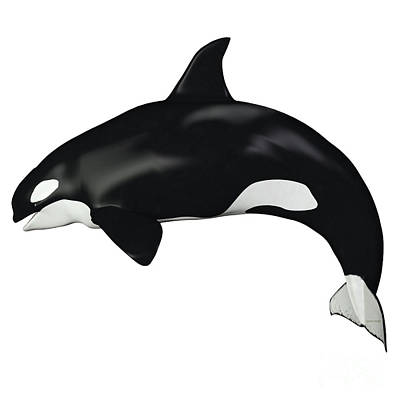Orca Female Whale Art Print