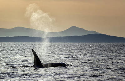 Photograph - Orca Into The Sunset by Randy Hall