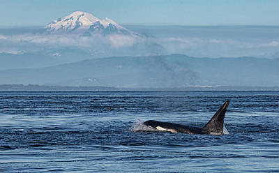 Photograph - Orca Male With Mt Baker by Randy Hall