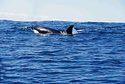 Orca Print by Marilyn Wilson