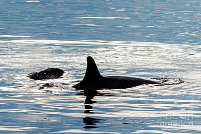 Photograph - Orca Pair by Mike Dawson