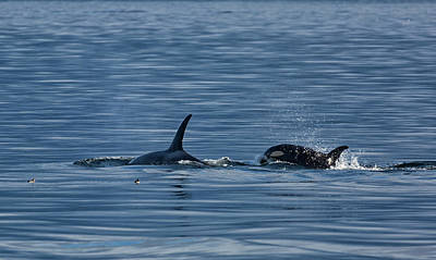 Photograph - Orca Playtime by Randy Hall
