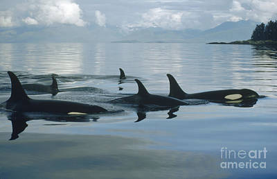 Five Photograph - Orca Pod Johnstone Strait Canada by Flip Nicklin