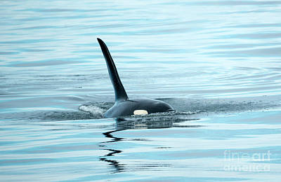 Juan De Fuca Photograph - Orca Reflections by Mike Dawson