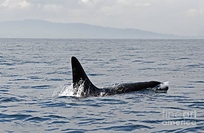 Photograph - Orca Whale by Cindy Murphy - NightVisions