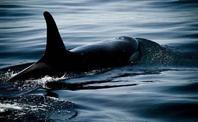 Orca Whale Art Print by Craig Perry-Ollila