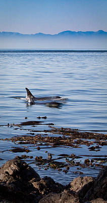 Orca Whales In The San Juan Islands Art Print by Sandy Buckley