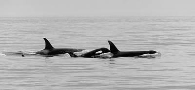 Orcas Bw Art Print