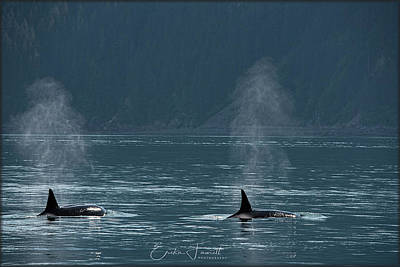 Photograph - Orcas In Resurrection Bay by Erika Fawcett
