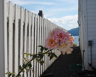 Photograph - Orcas Island Rose by Tim Nyberg