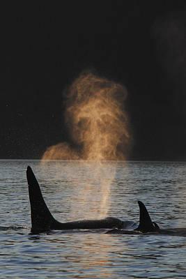 Orcas Ocinus Orca Spouting Alaska Art Print by Hiroya Minakuchi