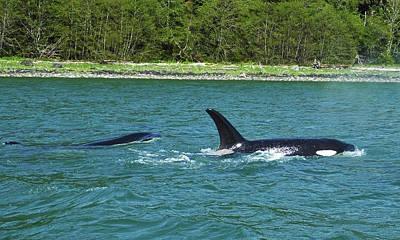 Photograph - Orcas Of Juneau by Judy Wanamaker