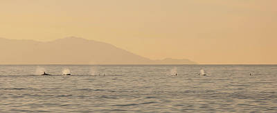 Photograph - Orcas On Parade by Cliff Wassmann