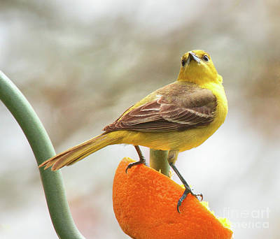 Photograph - Orchard Oriole by Debbie Stahre