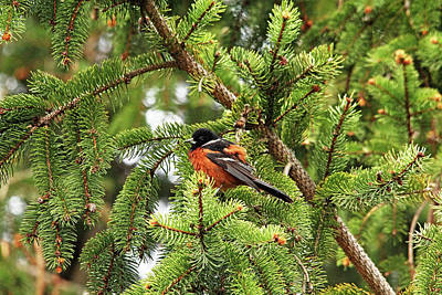 Photograph - Orchard Oriole In Spruce Tree by Debbie Oppermann