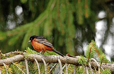 Photograph - Orchard Oriole In Spruce Tree II by Debbie Oppermann