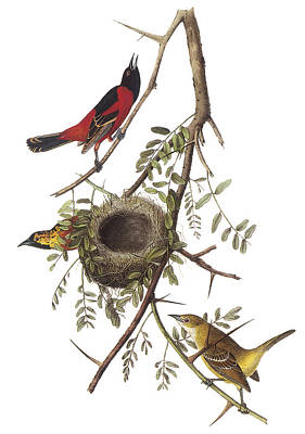 Oriole Painting - Orchard Oriole by John James Audubon