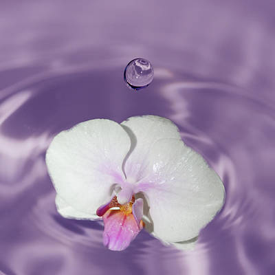 Crystal Wightman Rights Managed Images - White Orchid Water Drop Royalty-Free Image by Crystal Wightman